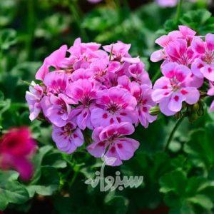 گل شمعدانی هندی