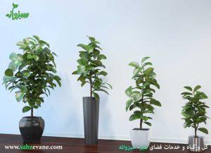 نگهداری و خرید گیاه آپارتمانی فیکوس الاستیکا