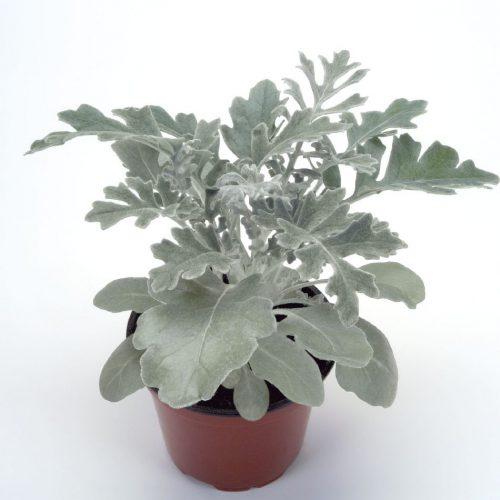 گیاه دائمی ابری نقره ای