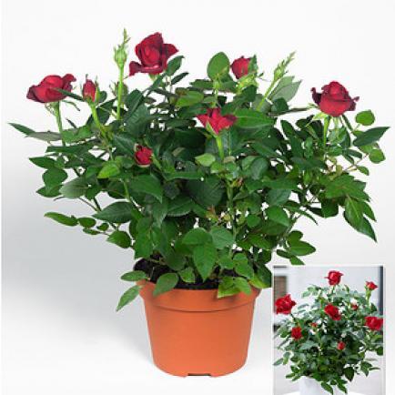 گل رز مینیاتوری گلدان 17 و سطل 4 - فروشگاه گل، گیاه و خدمات فضای سبز سبزوانه
