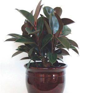 نگهداری از گیاه آپارتمانی فیکوس الاستیکا