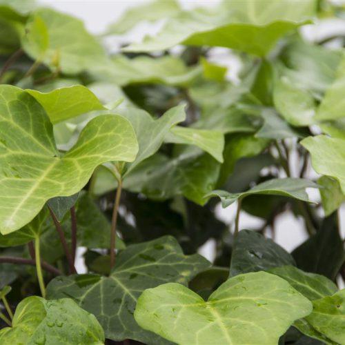 نگهداری از پاپیتال گیاه رونده و پوششی