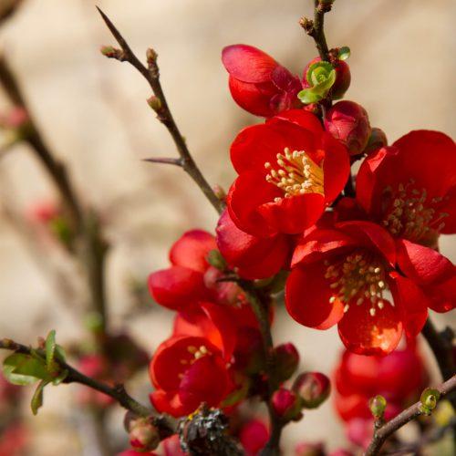درختچه به ژاپنی میوه و گل