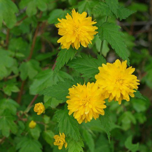 گل رز آبشار طلایی