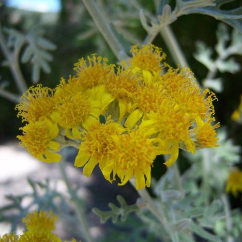 گیاه دائمی ابری نقره ای ایرانی
