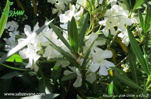 خرید و فروش گیاه خرزهره یا درختچه خرزهره