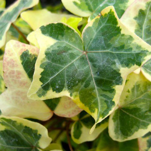 گیاه رونده و پوششی پاپیتال یا عشقه ابلق