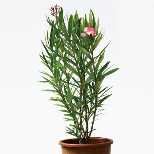 گیاه خرزهره و درختچه خرزهره