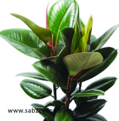 خرید و فروش گیاه آپارتمانی فیکوس الاستیکا