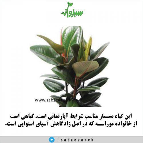 فروش و خرید گیاه آپارتمانی فیکوس الاستیکا
