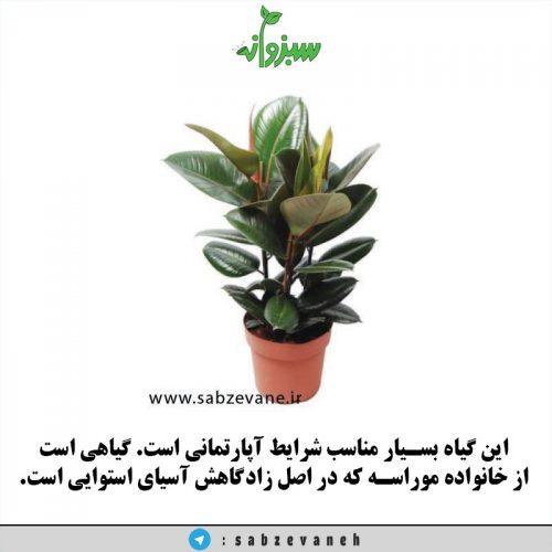 خرید و فروش و نگهداری از گیاه آپارتمانی فیکوس الاستیکا