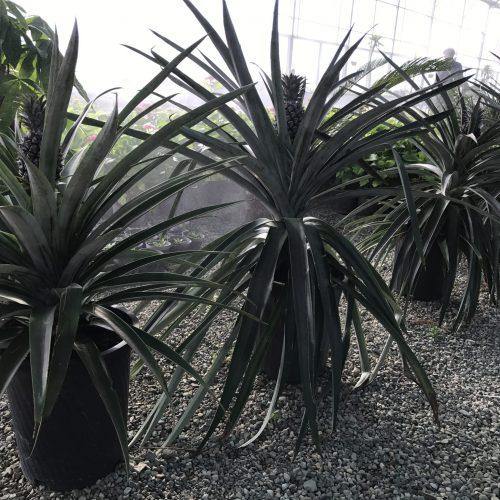 گیاه آناناس و نکات مربوط به نگهداری از این گیاه