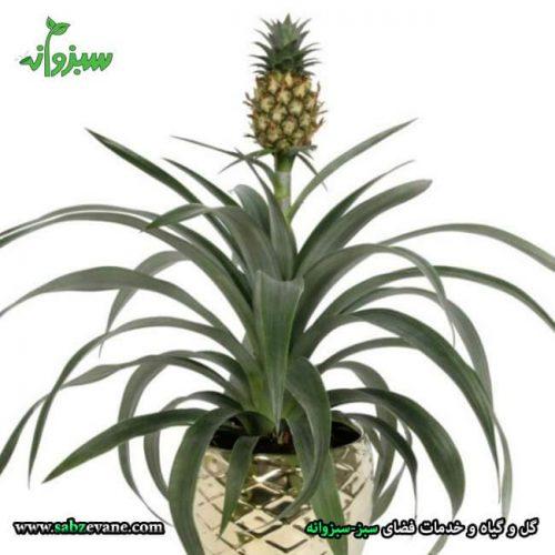 نگهداری از گیاه آناناس زینتی