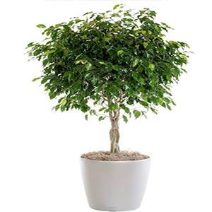 درختچه