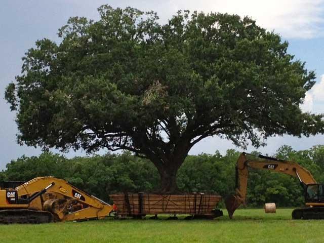 جابجایی و انتقال درخت-چنار