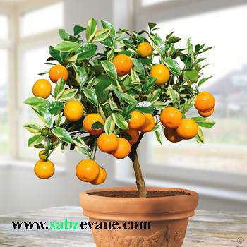 گیاه یا درخت کامکوات یا پرتقال زینتی