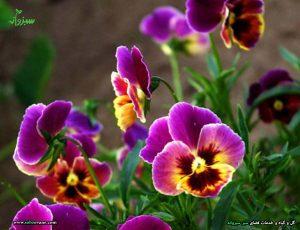 گلهای بهاری و گل بنفشه