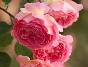 گلهای فصل بهار و گل محمدی