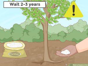 به مدت 2-3 سال از کود دادن به درخت جابجا شده خودداری کنید